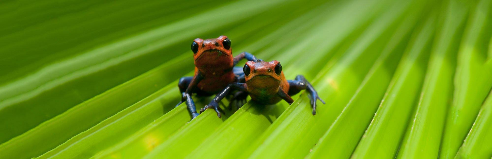 Blue-jeans-tree-frogs-by-Greg-Basco.jpg