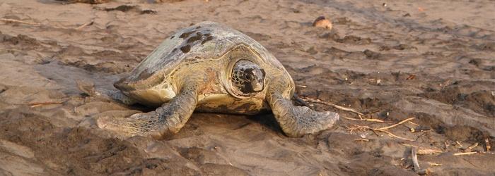 Sea-Turtle-in-Tortuguero-blog.jpg