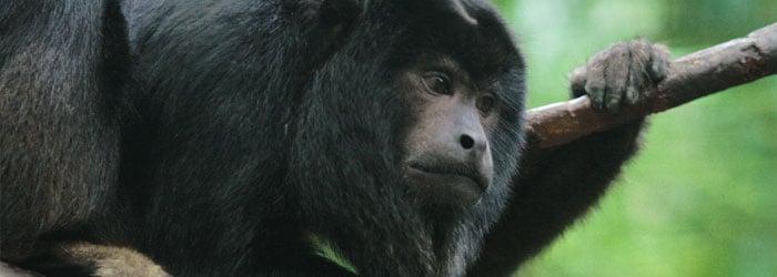 Black-Howler-Monkey-by-Ryan-Poplin.jpg