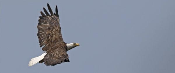 Bald-eagle-by-Jake-Scott