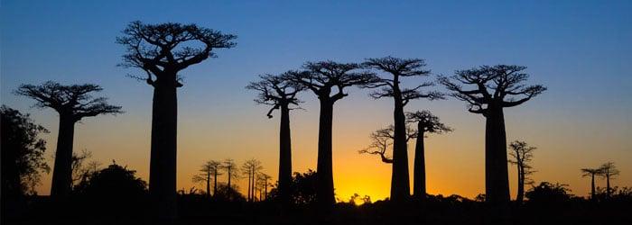 Baobab-forest-stock.jpg