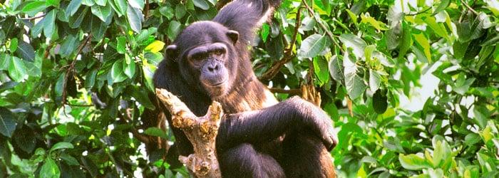 Chimpanzee-Tom-Carr-header