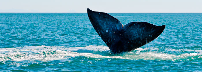 Gray-whale-tail-stock
