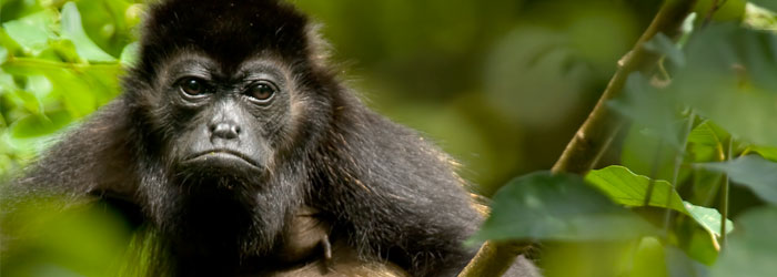 Howler-Monkey-by-Greg-Basco.jpg