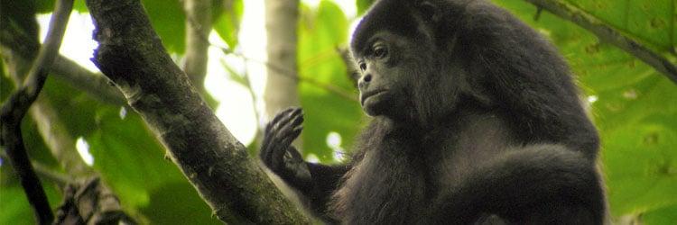 Howler-monkey-by-Dain-Van-Schoyck