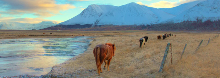 Iceland-horses-stock.jpg