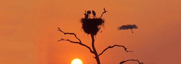 Jabiru-nests--by-Tom-Ulrich.jpg