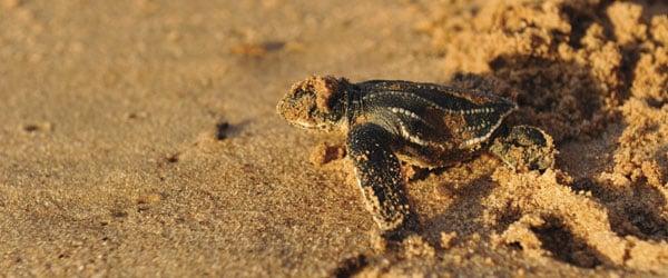 Leatherback-sea-turtle-stock