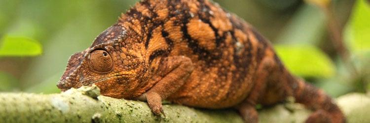 Madagascar-chameleon-by-Pelin-Karaca