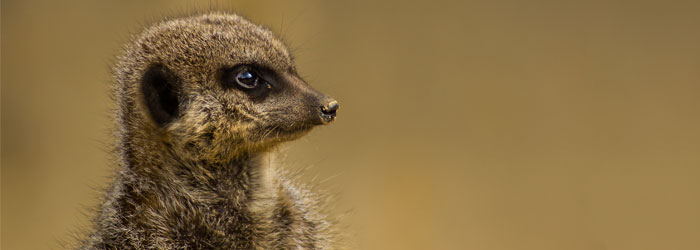 Meerkat-stock.jpg