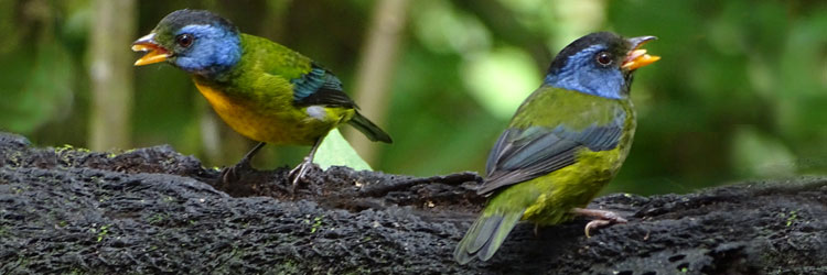 Moss-backed-Tanagers-by-Debbie-Jordan