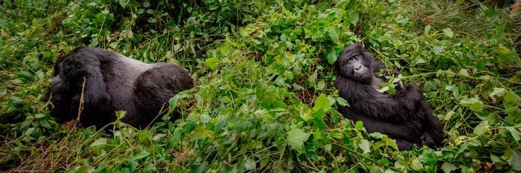 Mountain-gorillas-stock