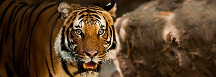 Tiger-stock.jpg