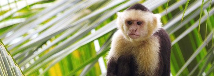 White-capuchin-monkey.jpg