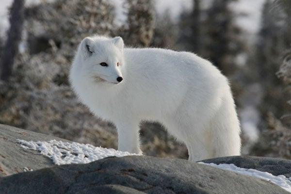 Arctic-fox-stock
