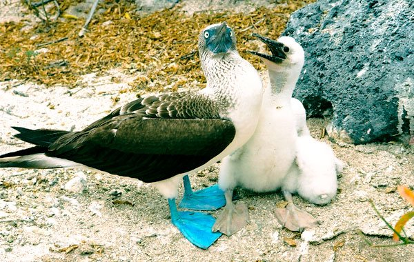 Blue-footed-Boobies-by-Debbie-Jordan