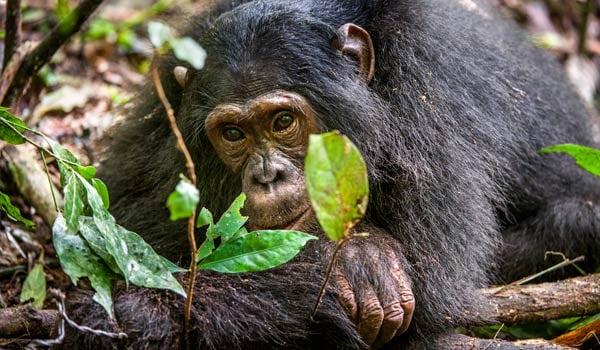 Chimpanzee-stock