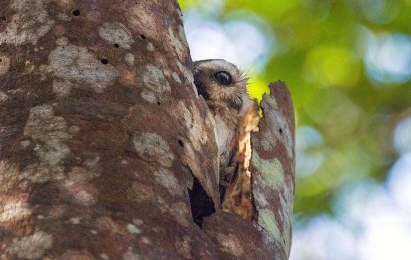 Cuban-screech-owl-by-Stefanie-Plein