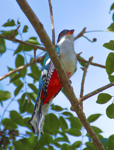 Cuban-trogon-by-Stefanie-Plein
