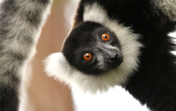 Curious-Lemur-Pelin-Karaca