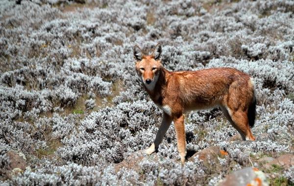 Ethiopian-wolf-stock-blog-inline