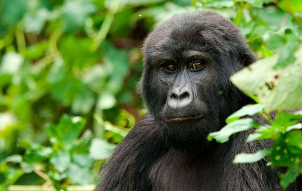 Gorilla-stock