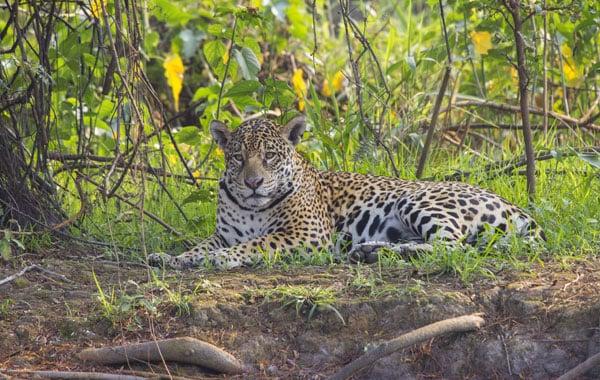 Jaguar-in-Brazil-stock