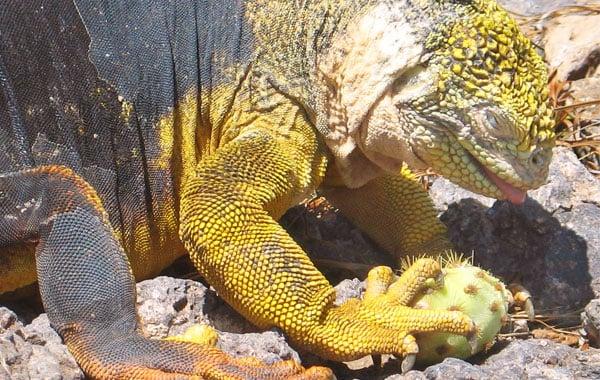 Land-Iguana-Lisa-Palmese-Graubard