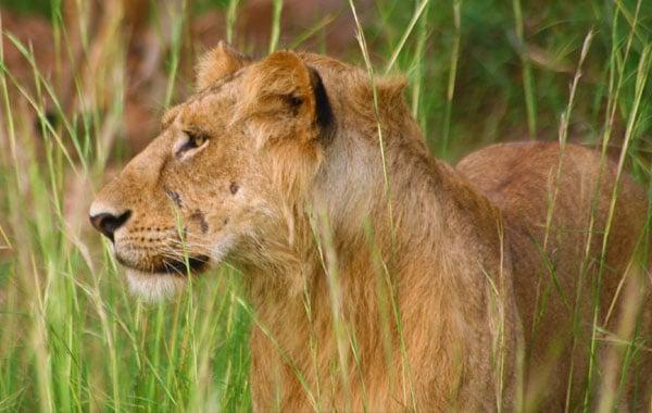 Lion-Uganda-Pelin-Karaca