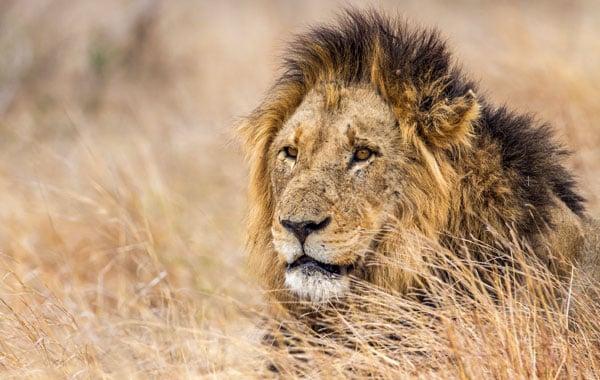 Lion-in-Kruger-stock