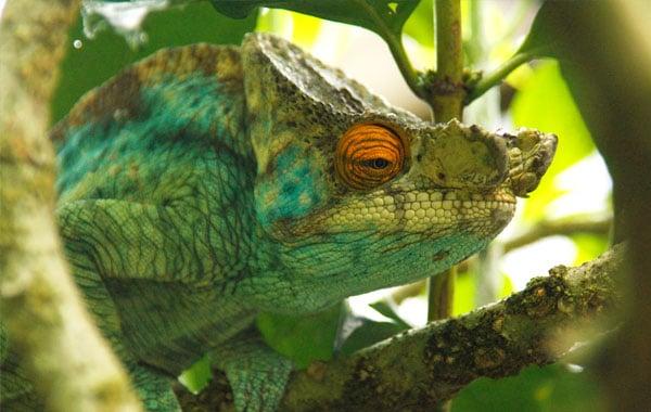 Madagascar-chameleon-2-by-Pelin-Karaca