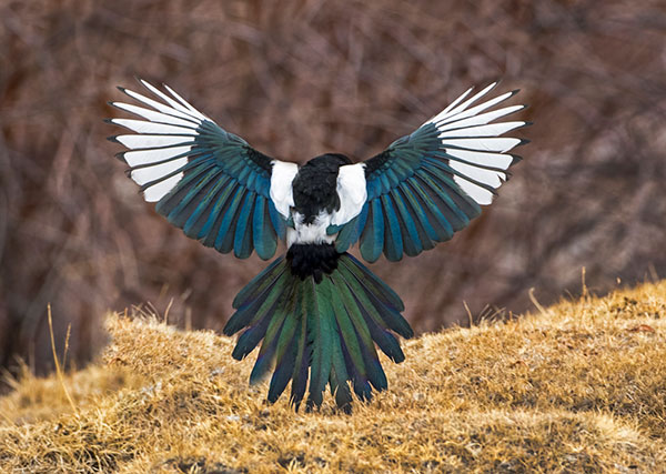 Magpie-by-Todd-Gustafson-Gustafson-Photo-Safari