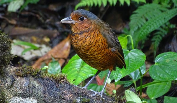 Maria-the-Giant-Antpitta-at-Refugio-Paz