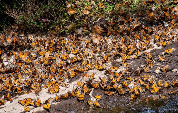 Monarchs-in-Mexico-by-Ian-Segebarth-blog-inline.jpg