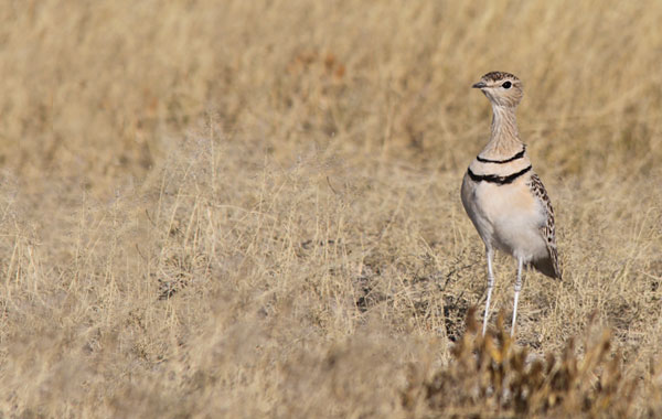 Namibia-Pelin-Karaca