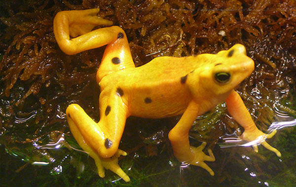 Panamanian-Golden-Frog-by-Tim-Vickers.jpg
