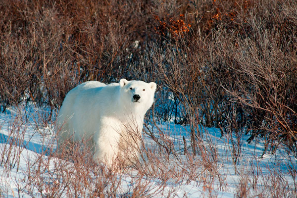 Polar-bear-Churchill-stock