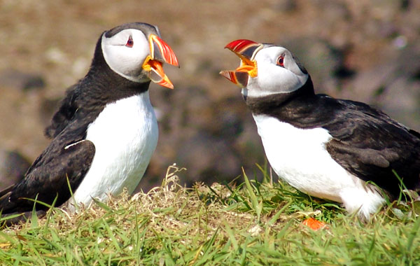 Puffins-stock