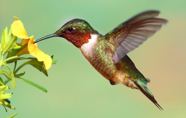 Ruby-throated-Hummingbird-stock-blog-inline
