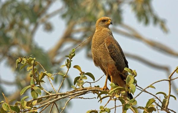 Savanna-hawk-stock