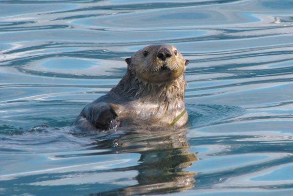 Sea-otter-by-Debbie-Sturdivant-Jordan