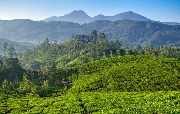 Tea-fields-in-Kerala-stock-blog-inline