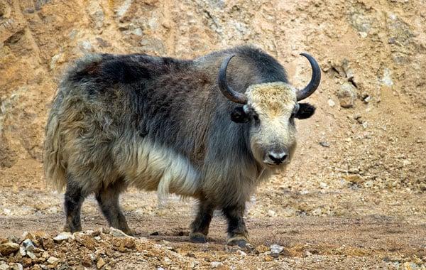 Wild-yak-by-Todd-Gustafson-Gustafson-Photo-Safari