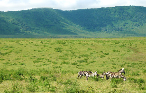 Zebra-in-Ngorongoro-Crater-by-Laurie-McLaughlin