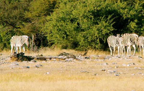 Zebras-by-Pelin-Karaca