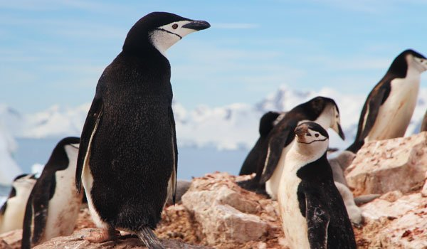 Chinstrap-penguins-stock