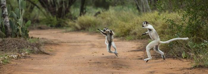 Dancing-lemurs-by-Ian-Segebarth.jpg