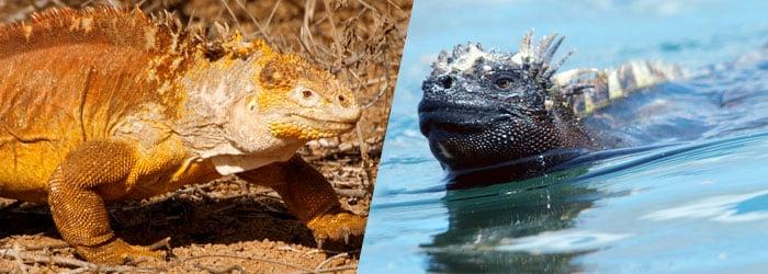 GPS-iguanas-by-Reinier-Munguia-Karen-Straus.jpg