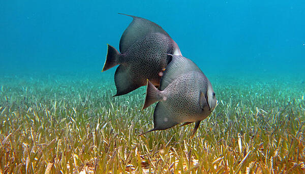 Gray Angelfish by J Craighill Photography