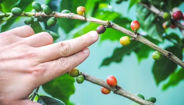 Growing-coffee-by-Ashley-Loza.jpg